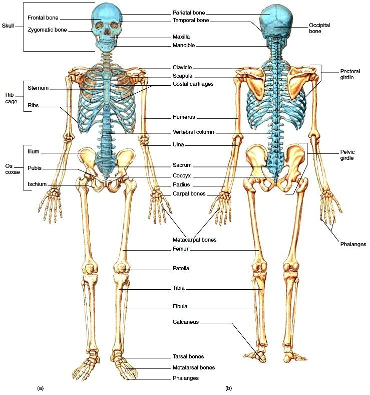 Organization Of The Skeletal System The Axial And Appendicular