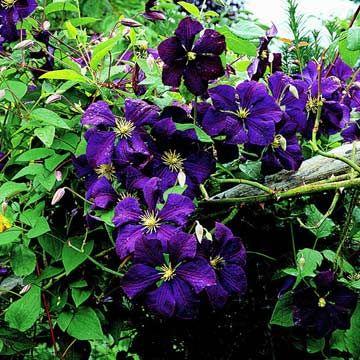 clematis fleurs bleues pinterest id es de jardin fleurs bleues et le jardin. Black Bedroom Furniture Sets. Home Design Ideas