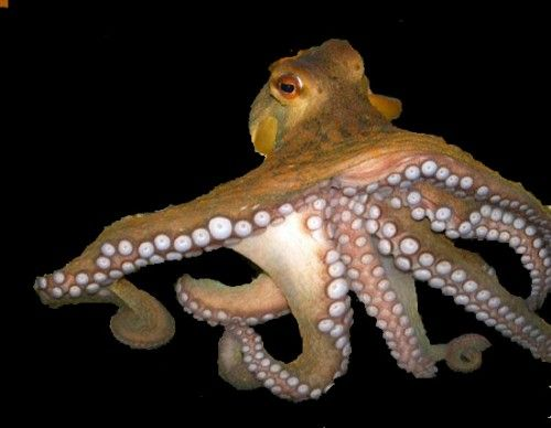 Paul The Octopus He Successfully Predicted The Outcome Of Germany S Seven Matches And Also The Final 2010 Giant Pacific Octopus
