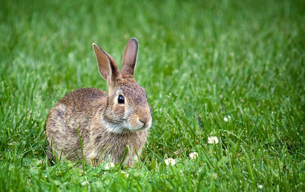 Rabbit Rabbit repellent, Animals, Rabbit
