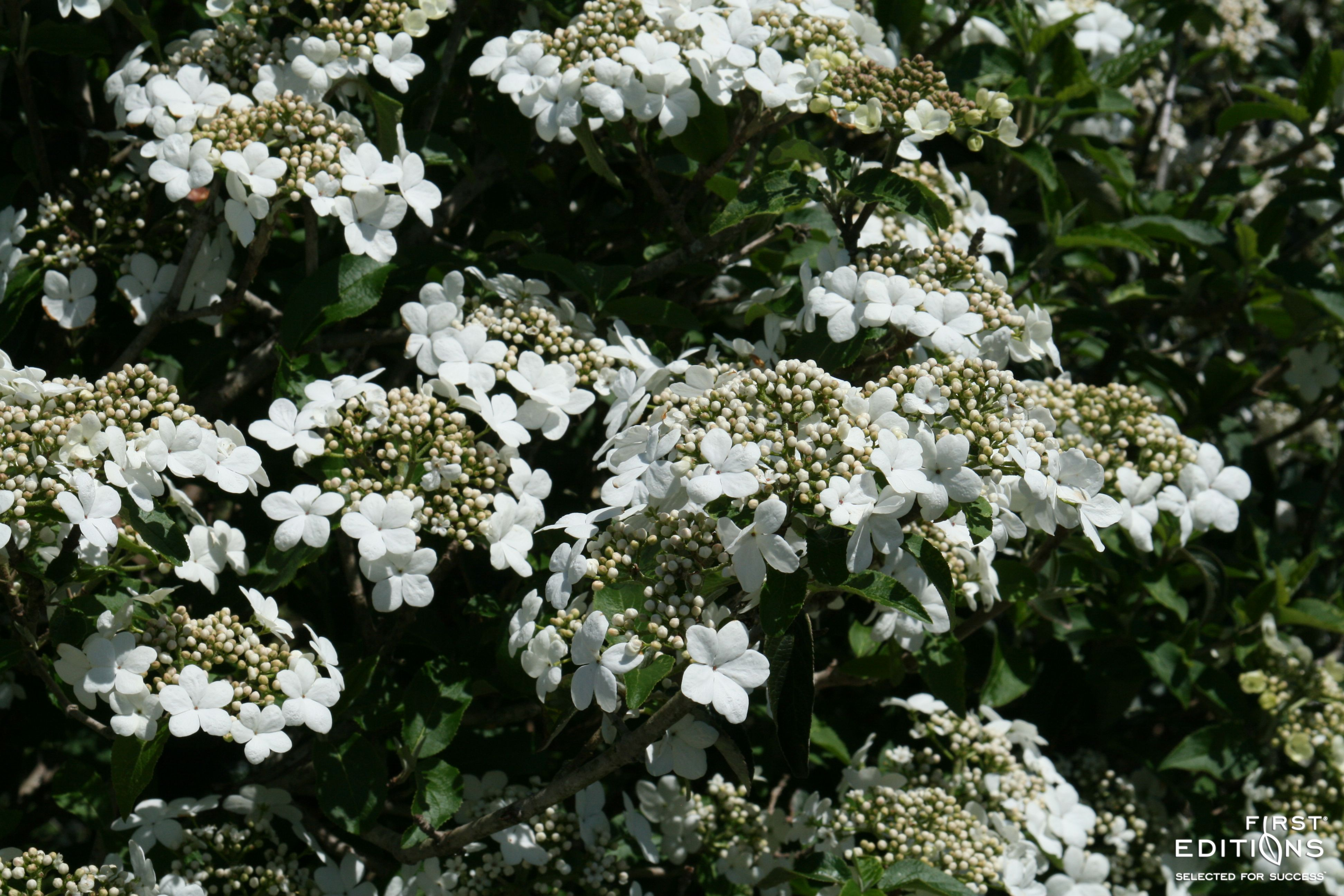Spring Lace Viburnum Is A Compact Shrub That Takes Your Breath Away