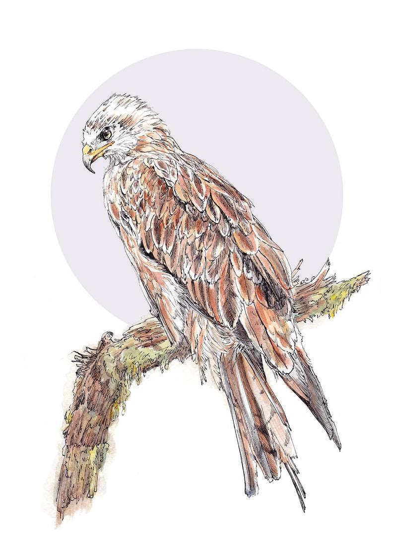Red Kite Print Scottish Bird of Prey British Wildlife