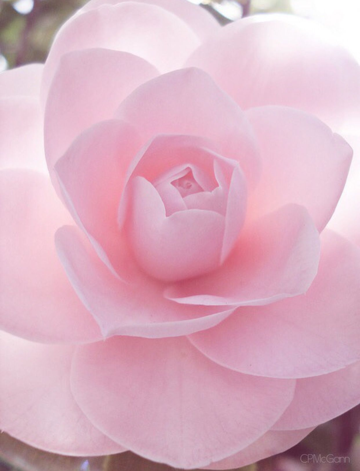Pinke Blumen Soft Pink Is The Best Rose Andpink Romance Blumen
