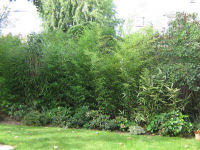 Haie de bambous et massif de terre de bruyère | Nature | Haie bambou ...