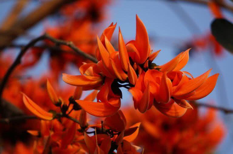 Top 10 beautiful flowering trees of India | Flowering ... Palash Flower In Hindi