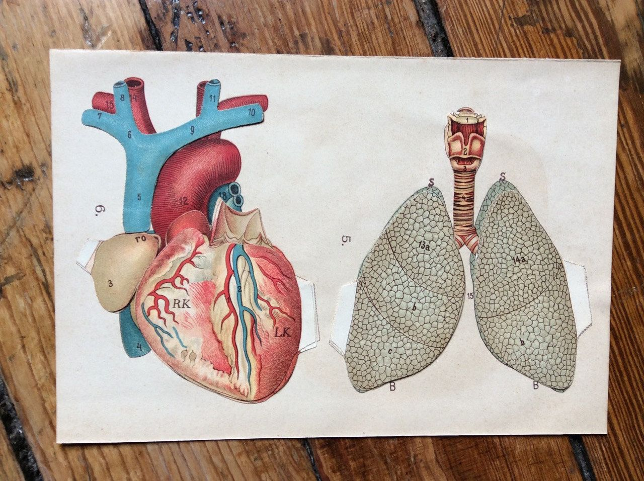 1902 HEART & LUNGS PRINT lithograph human anatomy pop up print ...