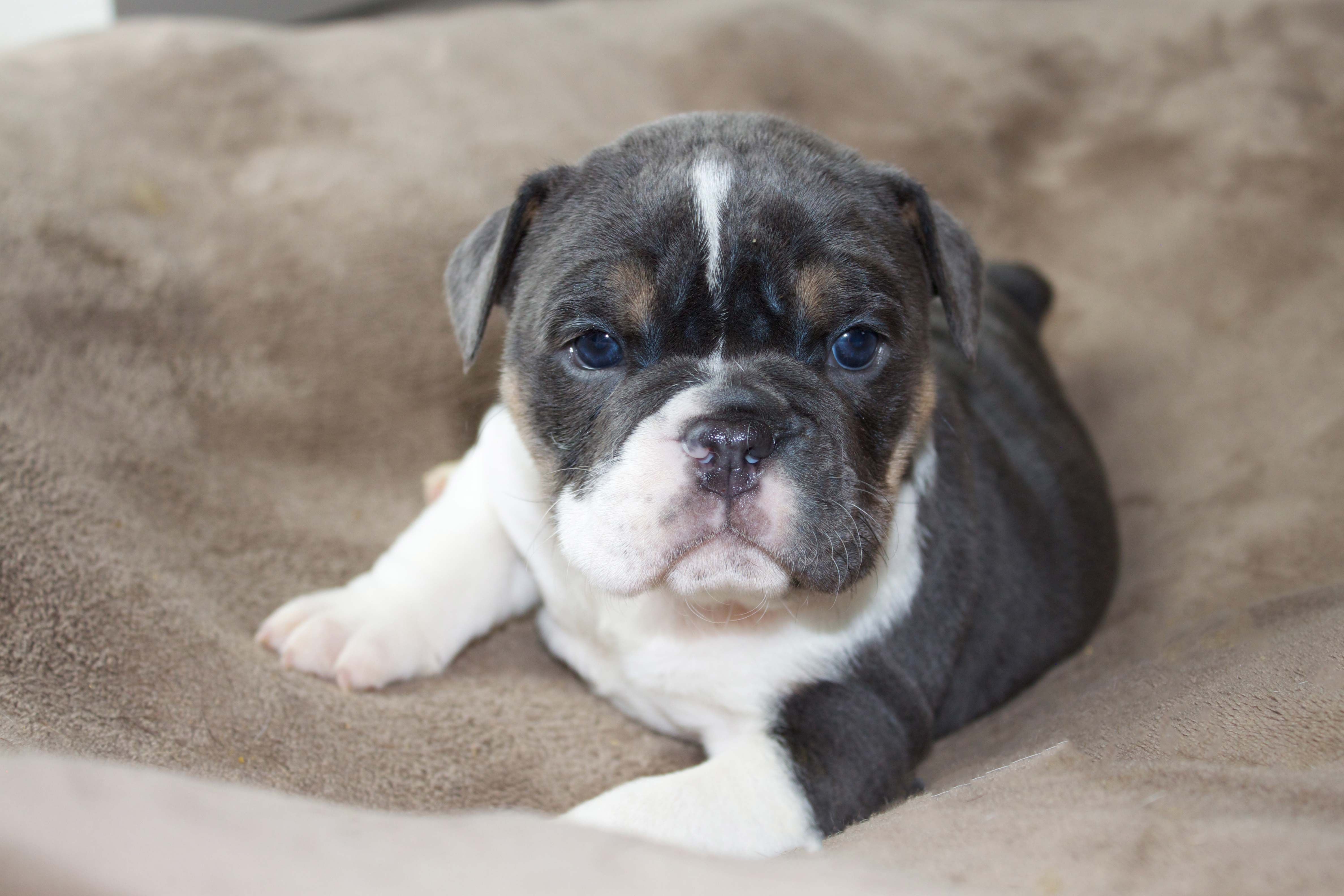 Sophie Our Olde English Bulldog Is 5 Weeks Old Olde English Bullies Oldeenglishbullies Com Bulldog English Bulldog English Bulldog Puppy Puppies For Sale