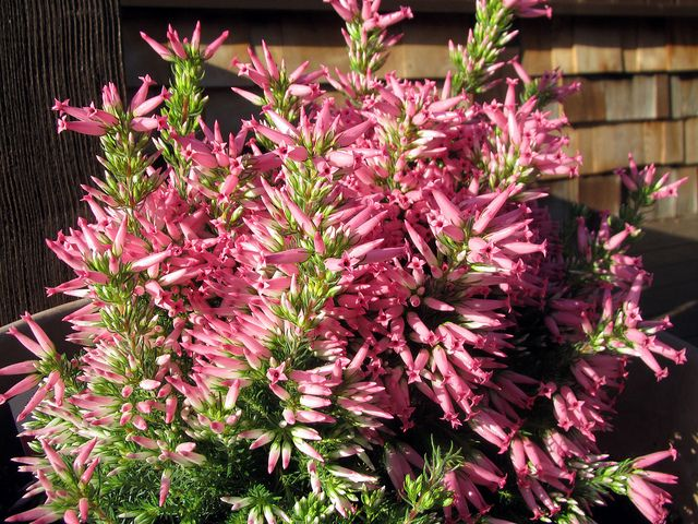 Italian Heather Heather Plant Plants Flowers