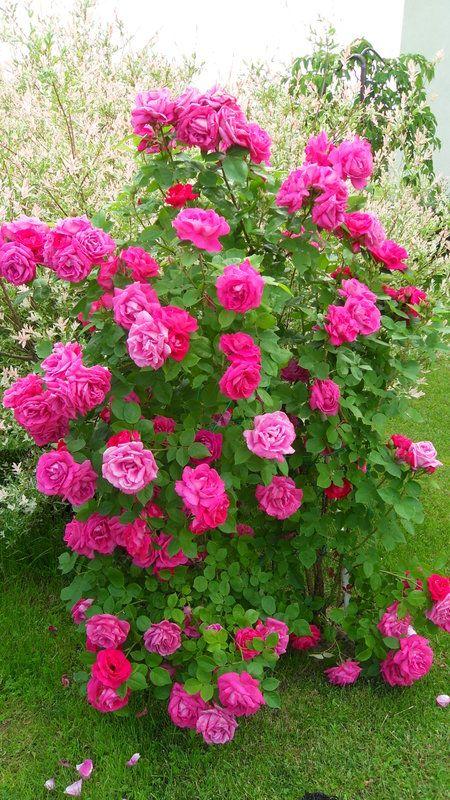 Victor Verdier Belas Rosas Vermelhas Rosas Vermelhas Flores