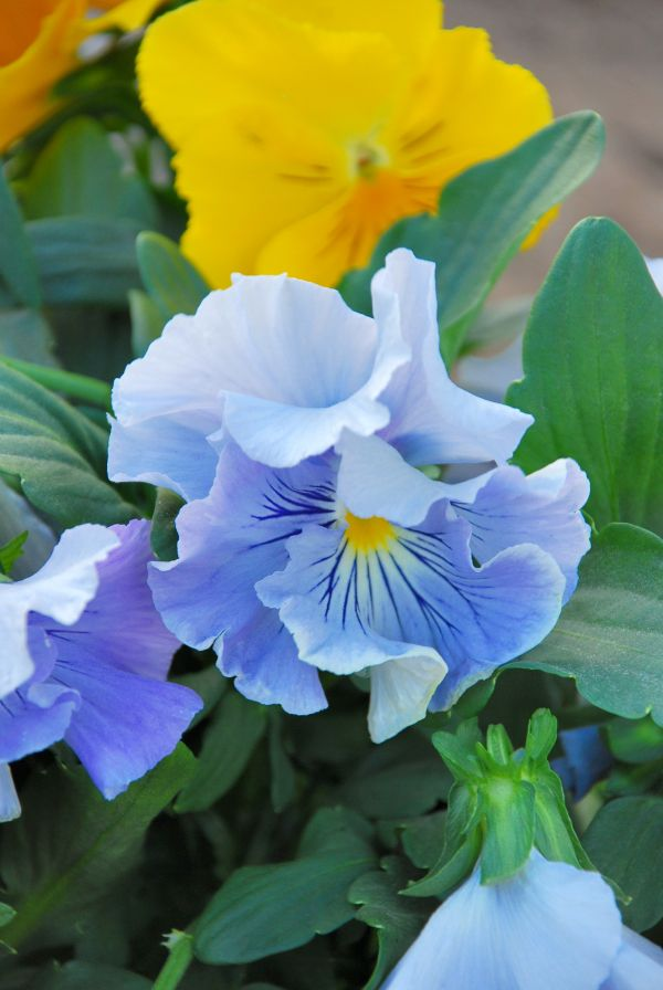 Golden violas and a ridiculously frilly blue viola (I believe). Repinning a useless link.