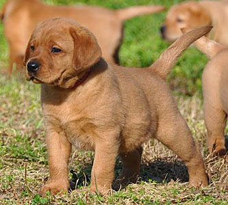 Blackfork Labradors Photo Gallery English Fox Red Labs Fox Red Labrador Fox Red Labrador Puppy Red Lab
