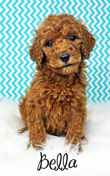 Red Akc Standard Poodle Puppy Dog Photography Fluffy Puppy
