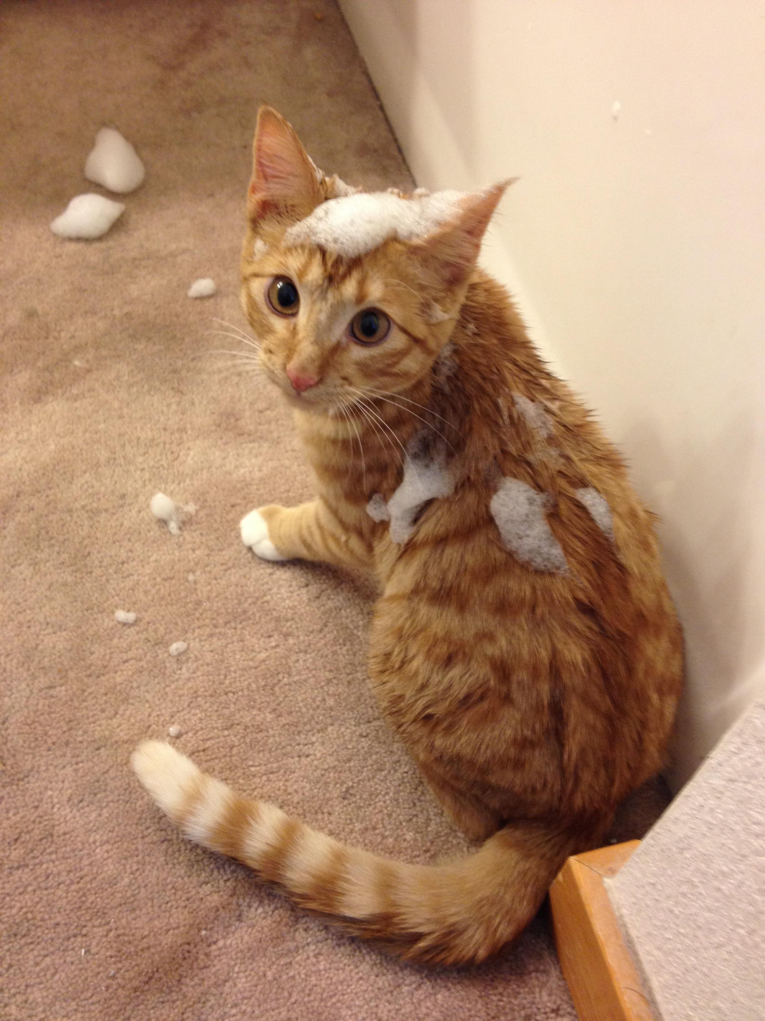 Girlfriend Was Taking A Bath Kitten Got A Little Too Curious Orange Tabby Cats Kitten Cat Tail