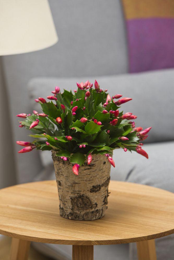 Schlumbergera ~ Christmas Cactus in bark pot