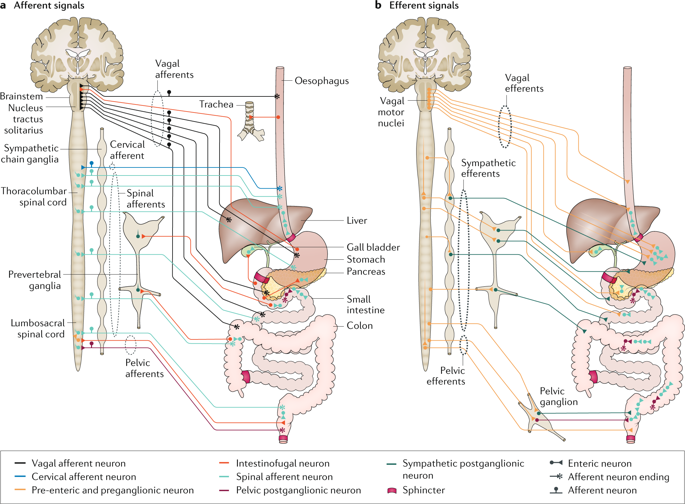 38++ Vagus nerve pathway image ideas in 2021