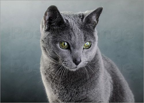 Egyptian Blue Golden Eye Cat Pictures Russian Blue Cat 05 Pictures Posters By Nailia Schwarz At Russian Blue Russian Blue Cat Blue Cats