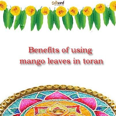 Why Do We Use Mango Leaves In Toran Release Oxygen Till They Turn