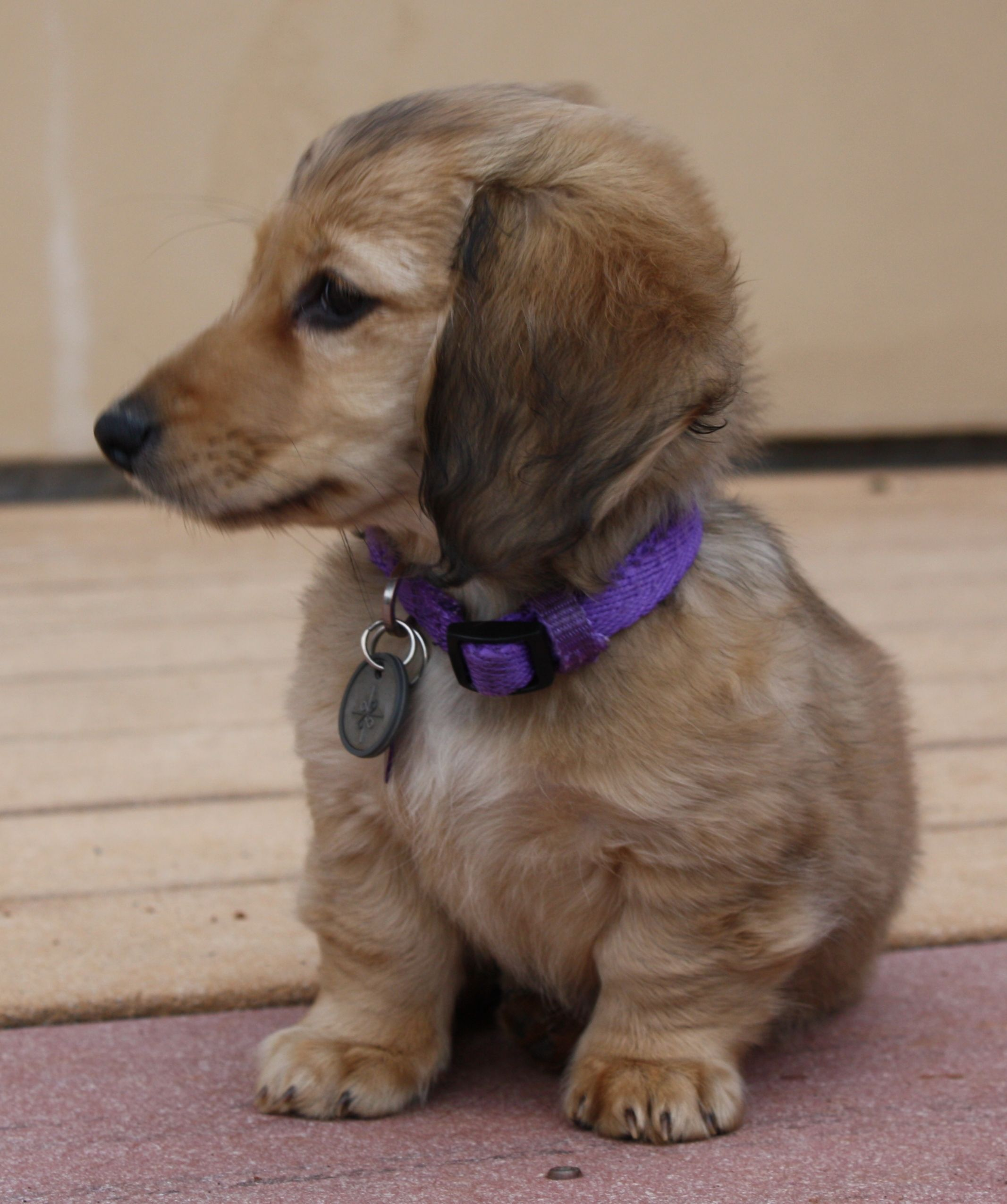 Chloe Longhaired Shaded Cream Miniature Dachshund Dachshund
