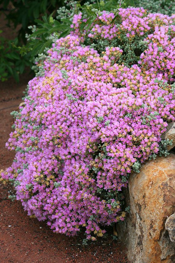 Oscularia deltoides. Used as edging to keep crushed rock from ...