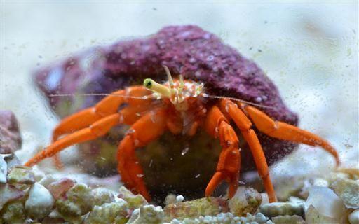 Paguristes Cadenati En Scarlet Reef Hermit Crab De Roter Riffeinsiedlerkrebs Crab Hermit Crab Coral Wallpaper