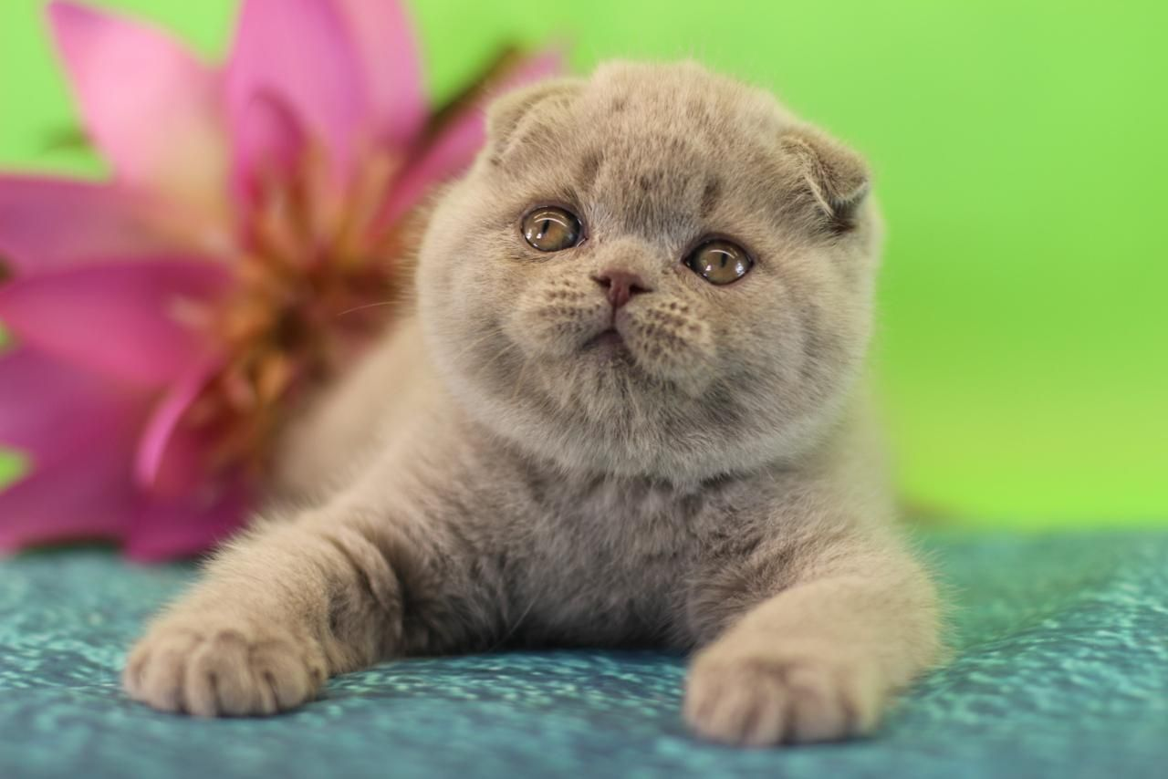 Scottish Fold Kittens In Los Angeles And New York Text Or Call Us 310 6978177 Scottish Fold Kittens Beautiful Kittens Scottish Fold