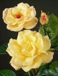 Роза Артур Белл (Arthur Bell)