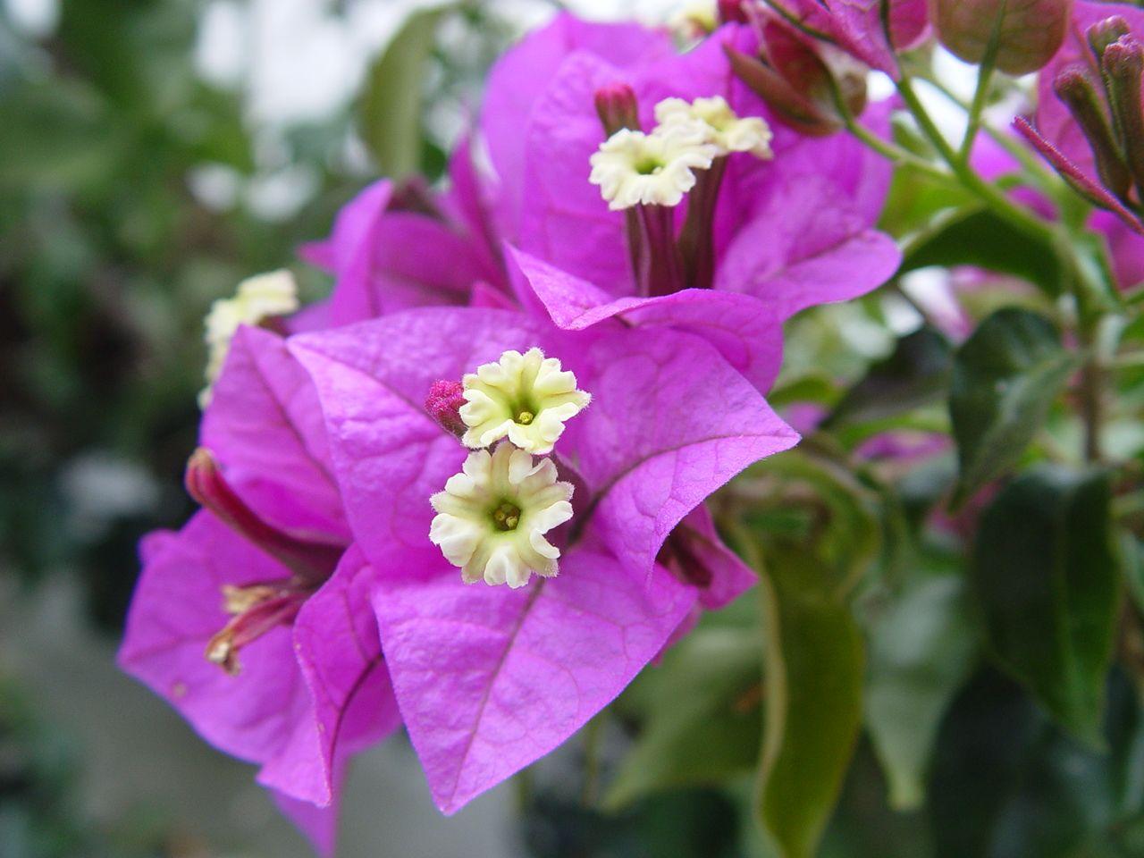Bougainville Fleur dedans bougainvillea often misunderstood. | bougainvillea, bougainvillea