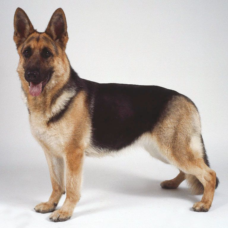 Best Dog Ever German Shepherd German Shepherd Dogs Shepherd