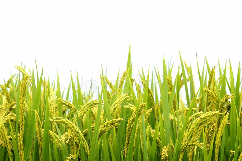 Rice Field On White Background Aff Field Rice Background White Ad Stock Photography Free Field Wallpaper Agriculture Design