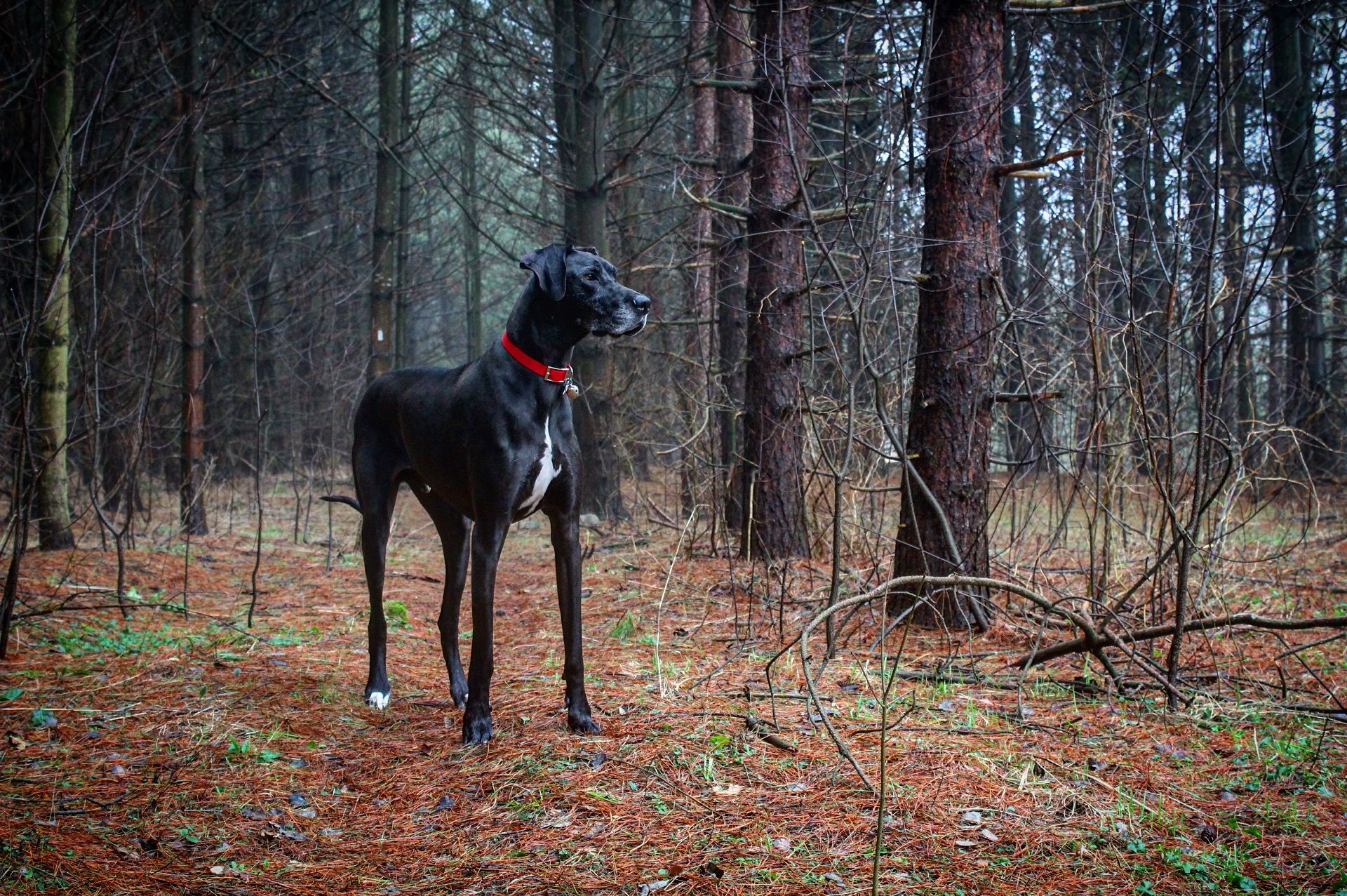 Thor is a 3 year old Great Dane, he stands 3'8; and is about 145lbs.