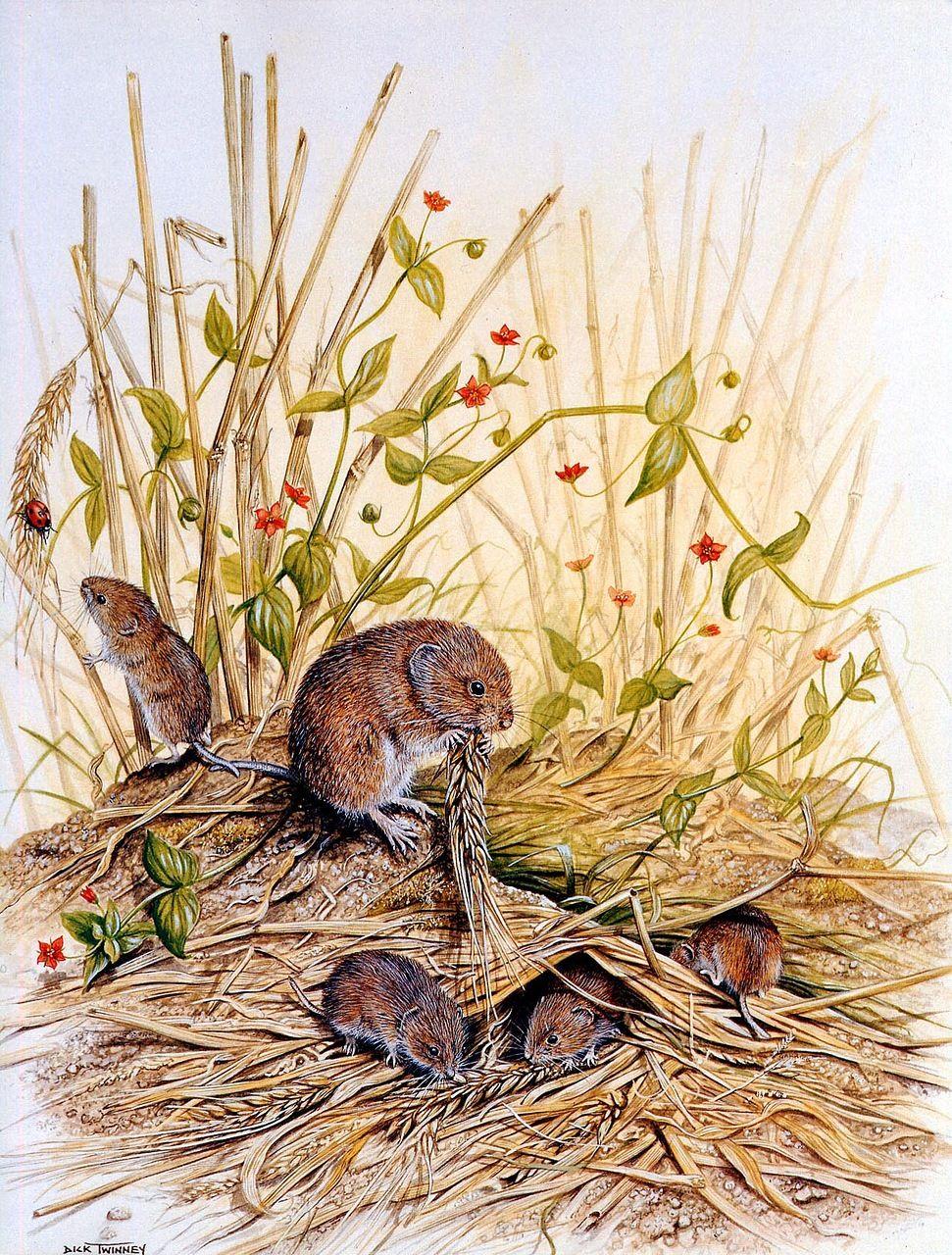 Полевая мышь картинки для детей