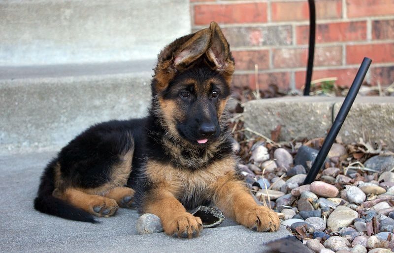 German Shepherd Price Range How Much Are German Shepherd Puppies