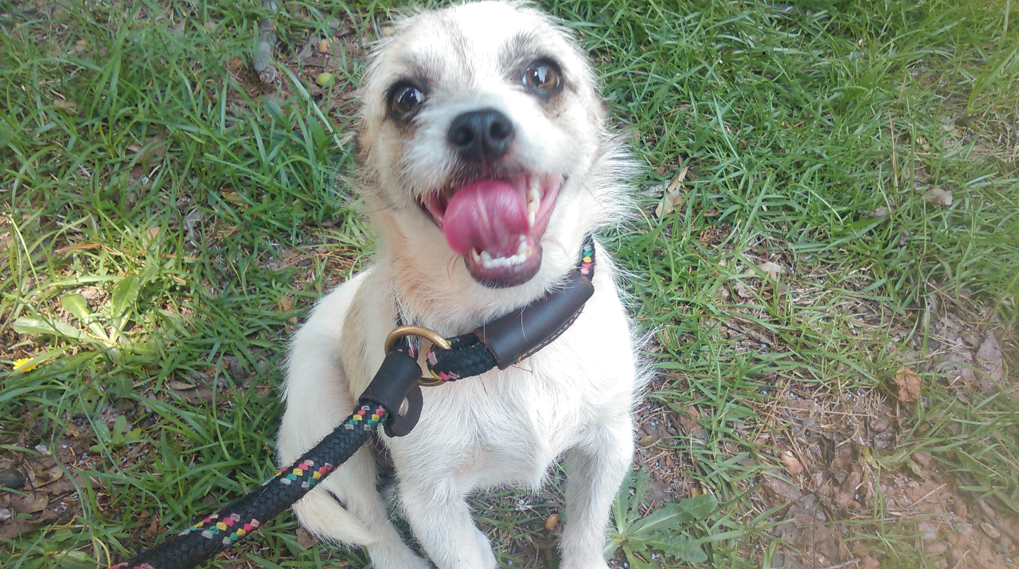 Adopt Tigger On Dogs Terrier Mix Dogs Tigger
