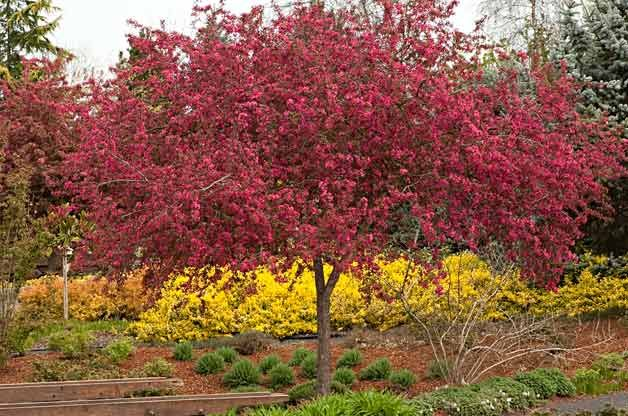 Flowering trees for your backyard crabapple garden plans flowering trees for your backyard crabapple mightylinksfo