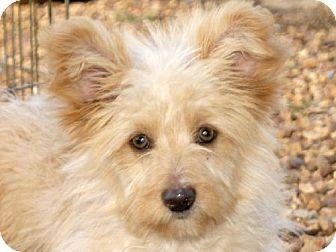 Danbury Ct Cairn Terrier Maltese Mix Meet Sage A Puppy For