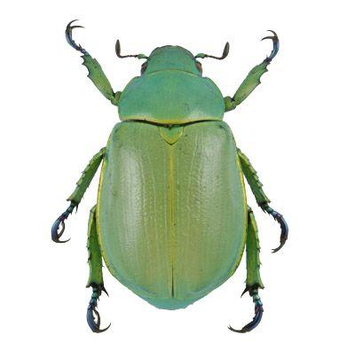 Blue-legged Jewel Beetle Chrysina woodi - and you can by ...