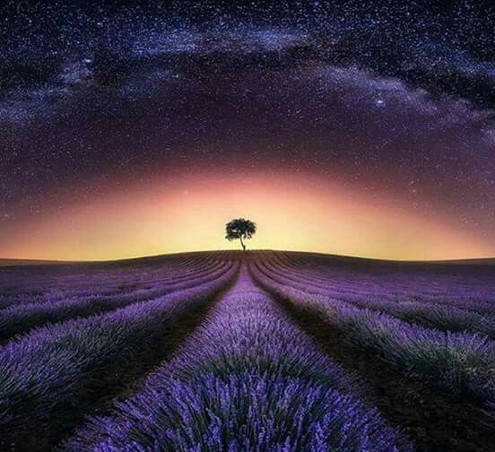 Lavender fields under the milky way.