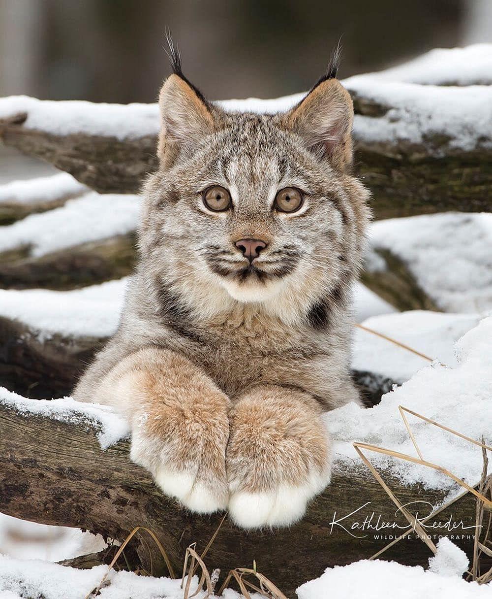 A floofy little Canada Lynx kitten 🔥 NatureIsFuckingLit