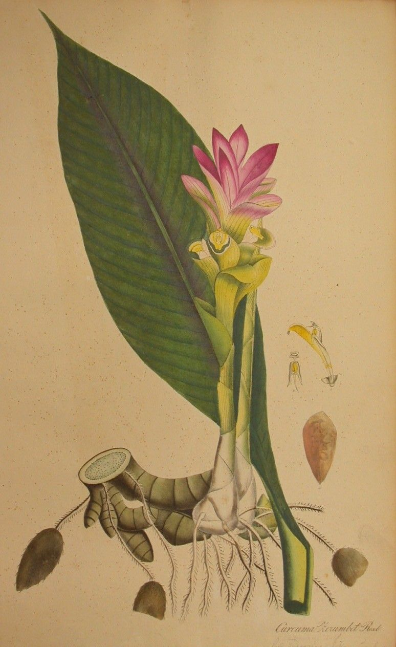 curcuma botanical illustration.