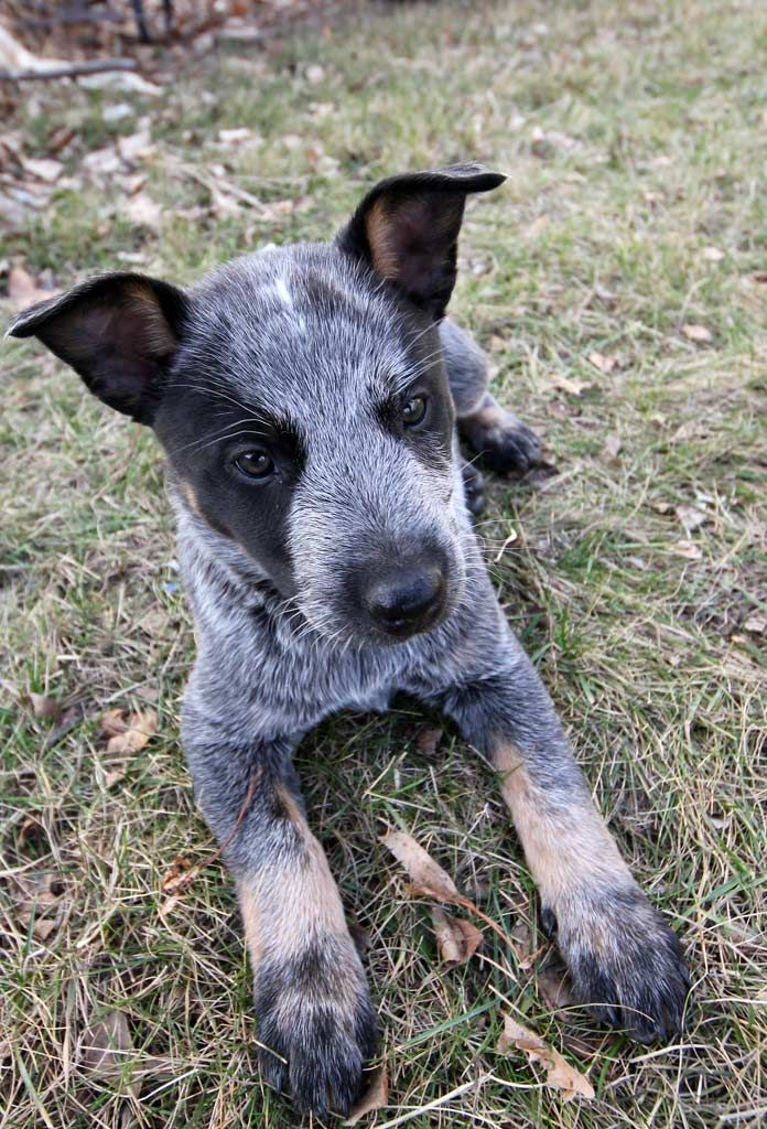 7 1 2 weeks old blue heeler puppie australian cattle dog. Black Bedroom Furniture Sets. Home Design Ideas