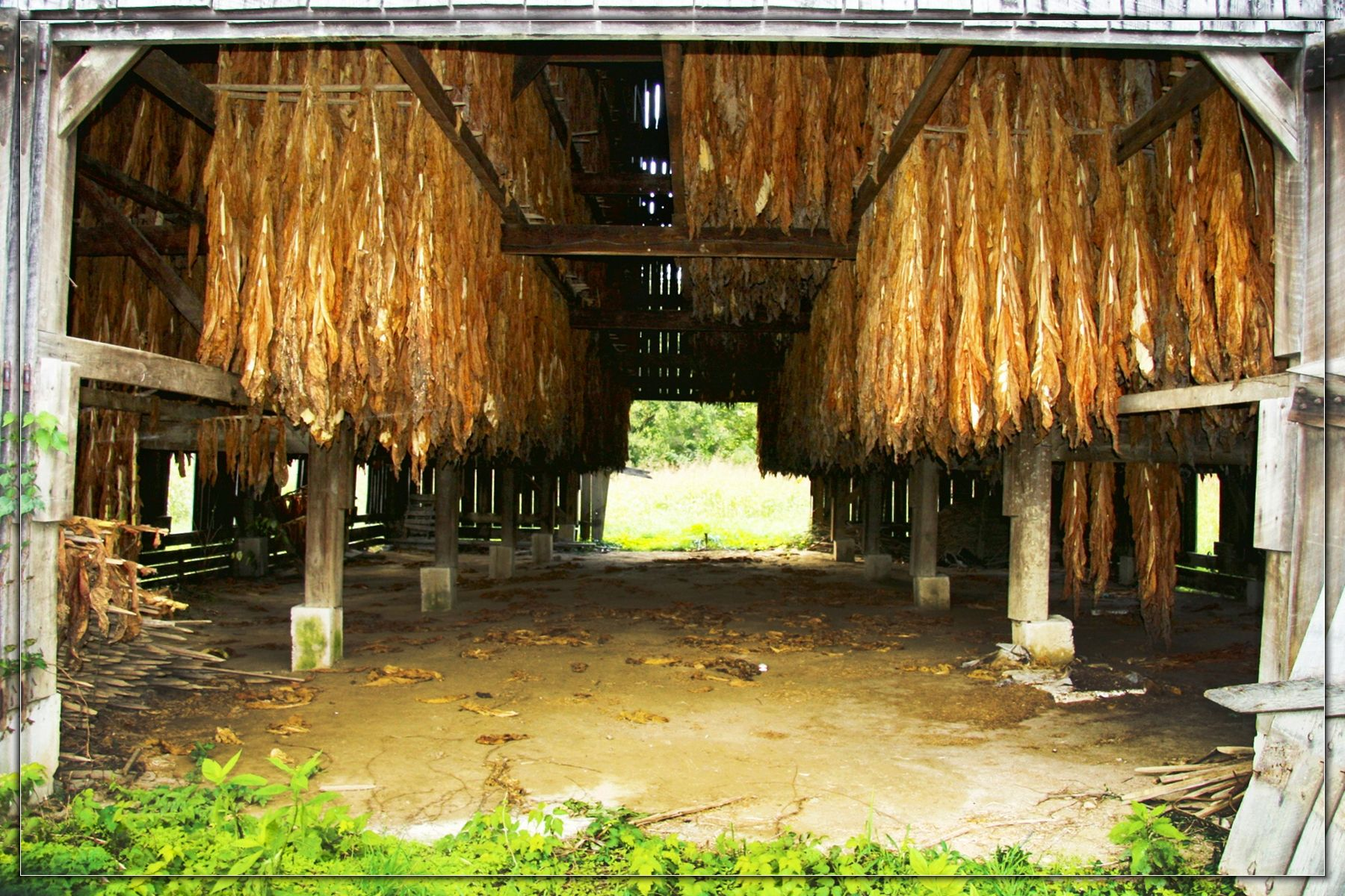 Marvelous photograph of Kentucky tobacco hanging in a barn. KENTUCKY Pinterest with #9BA724 color and 1800x1200 pixels