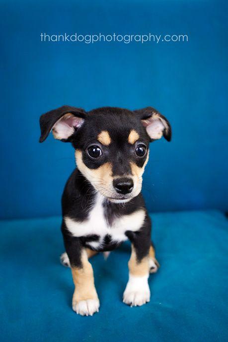 Ay Chihuahuas Chihuahua Love Chihuahua Cute Chihuahua