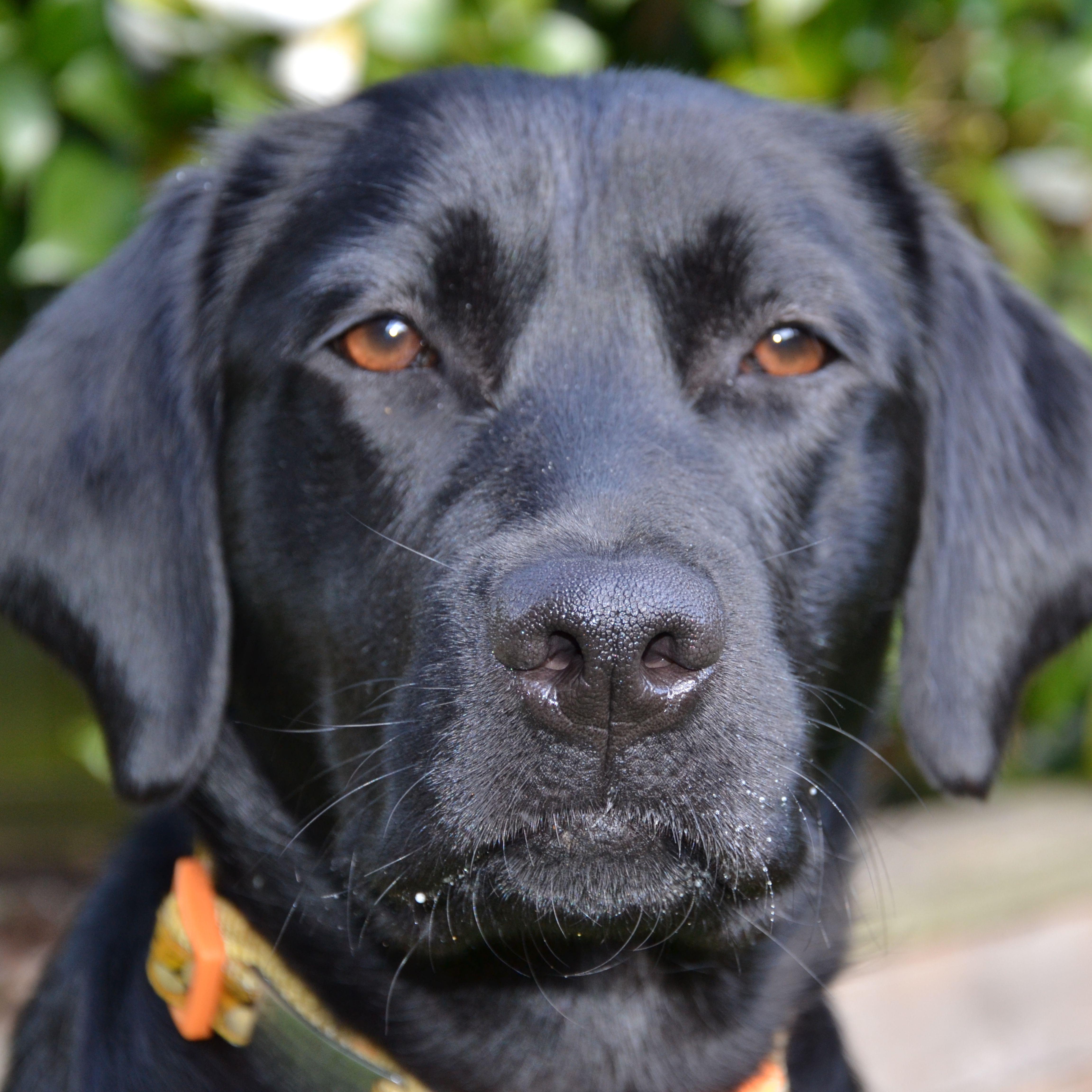 Esther Our Beautiful Girl Labrador Retriever Labrador Black Labrador