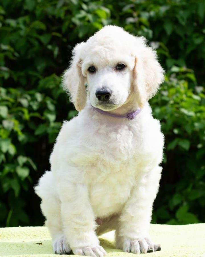 #puppy #poodlepuppy #whitepoodle #poodle #standartpoodle
