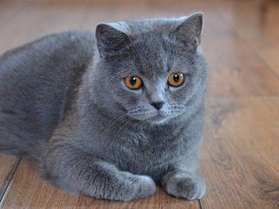 British Shorthair Breeds Info Temperament Kitten Names Price Cat Breeds With Pictures Cat Breeds Cat Breeds List