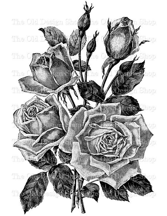 Vintage Rose Belle Siebrecht Instant Download Png Clip Art Transfer Image From Theolddesignshop On Etsy Vintage Roses Black And White Roses Flower Illustration