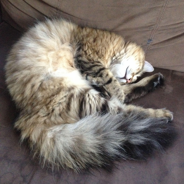 Siberian Forest Cat, Sugar Baby Cats, Siberian cat
