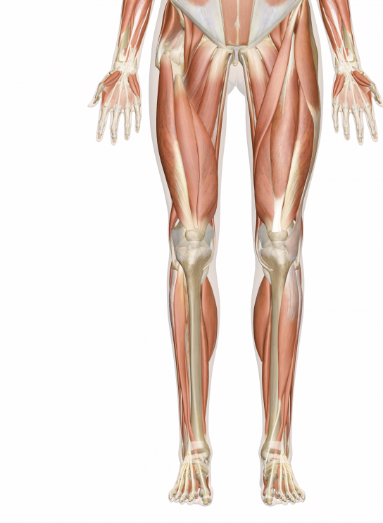 quad muscles, - knee thigh and front of hip pain | my massage and, Muscles