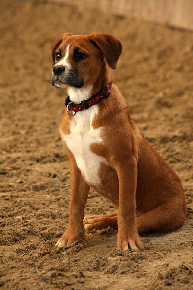 Appenzeller Boxer Mix Mischling Sennenhund Deutscher Boxer