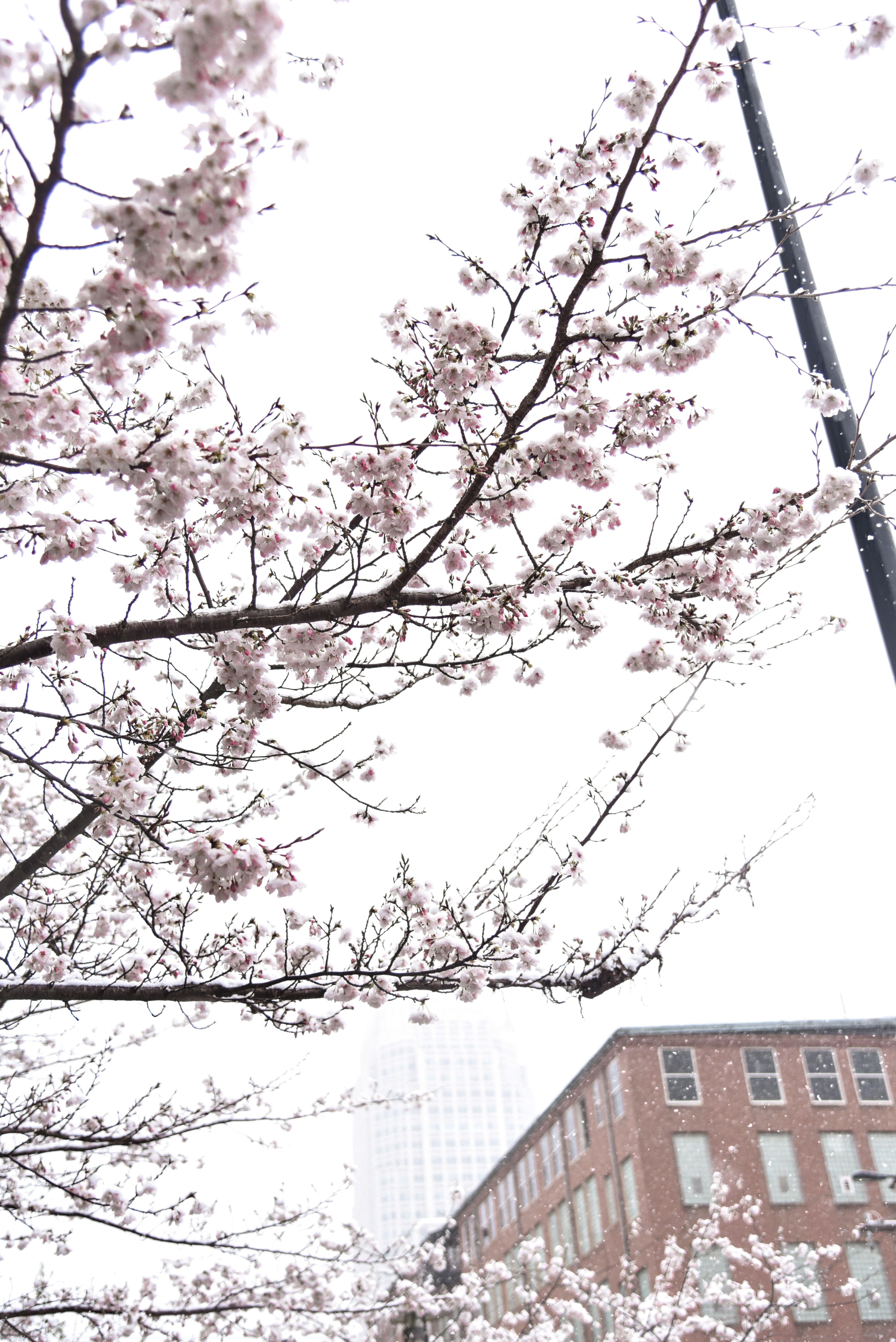 Cherry Tree In Winter Winter Trees Cherry Blossom Tree Beautiful Tree